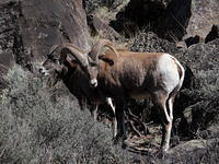 Bighorn Sheep in Rio Grande Gorge