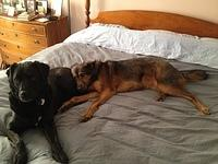 The dogs take over the bed